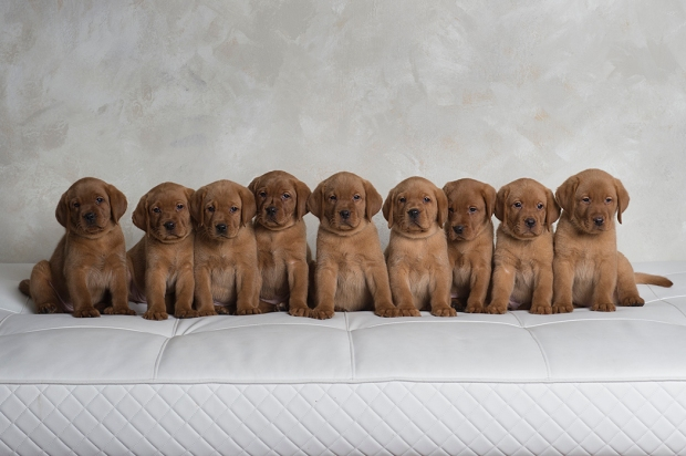 fox red lab puppies for sale wi to 2018-6wk