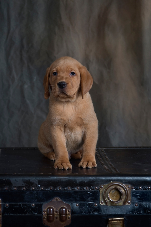 fox red lab puppies for sale wi to 2018-7graywk