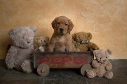 fox red lab puppies for sale wi to 2018-9graywk