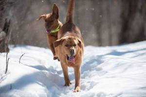 Balsam Branch Kennel Cabin Fever Fox Red Labs WI 2