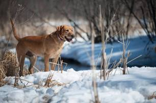 Balsam Branch Kennel Cabin Fever Fox Red Labs WI 3
