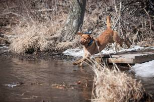 Balsam Branch Kennel Cabin Fever Fox Red Labs WI 4