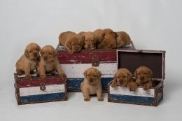 BBK Fox Red Lab Puppies For Sale 4wk