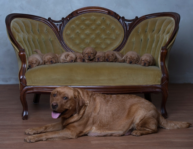 BBK Fox Red Lab Puppies For Sale English3wk