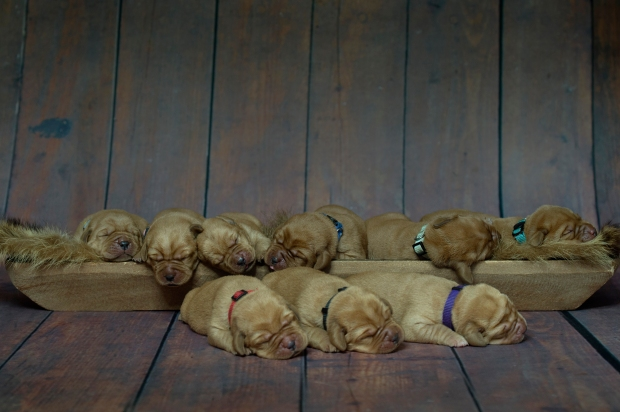 BBK Fox Red Lab Puppies For Sale TO 1wk