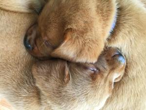 Balsam Branch Kennel Fox Red Lab Puppies For Sale 1