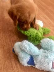 Balsam Branch Kennel TO 2018 New Toys Fox Red Lab Puppies For Sale 2