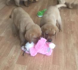 Balsam Branch Kennel TO 2018 New Toys Fox Red Lab Puppies For Sale 3