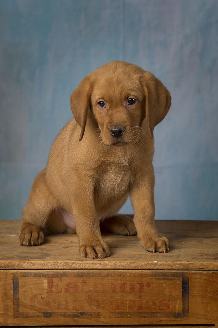 Bbk Fox Red Lab English Puppies For Sale 8 1wk Balsam Branch Kennel