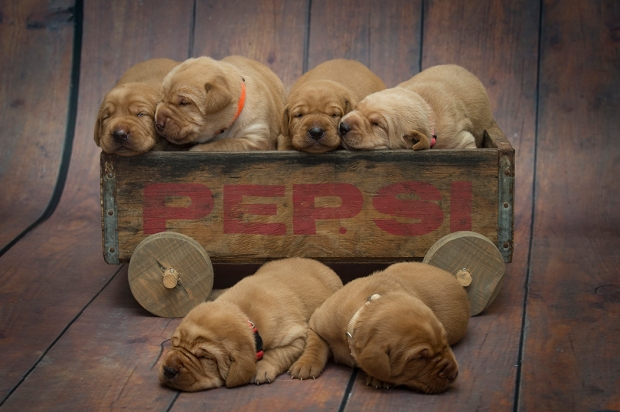 BBK Fox Red Lab Puppies For Sale 2wkRM