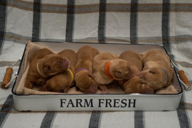 BBK Fox Red Lab Puppies For Sale 3daysRM
