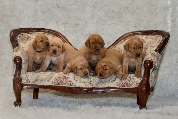BBK Fox Red Lab Puppies For Sale 3wkRM