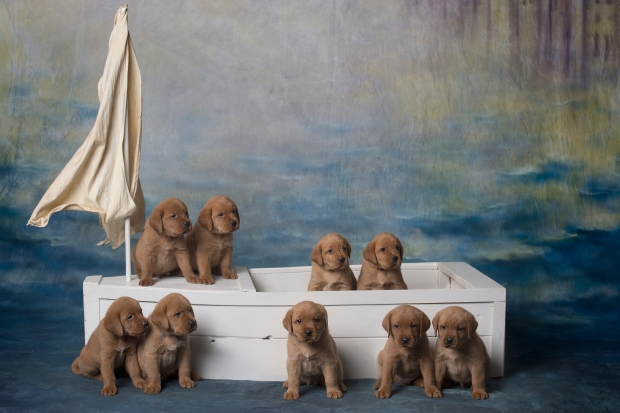 BBK Fox Red Lab Puppies For Sale 5wk