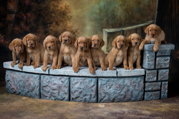 BBK Fox Red Lab Puppies For Sale 7wk