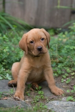 BBK Fox Red Lab Puppies For Sale black