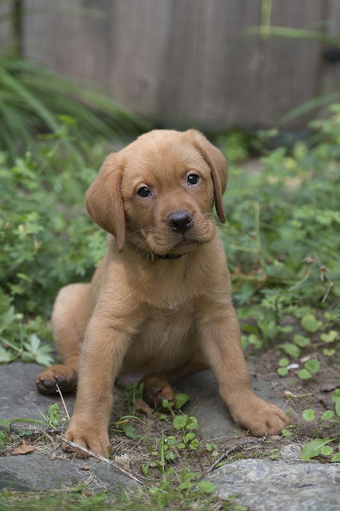 Bbk Fox Red Lab Puppies For Sale Black Balsam Branch Kennel