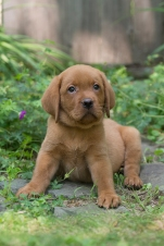 BBK Fox Red Lab Puppies For Sale blue