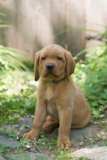 BBK Fox Red Lab Puppies For Sale spot