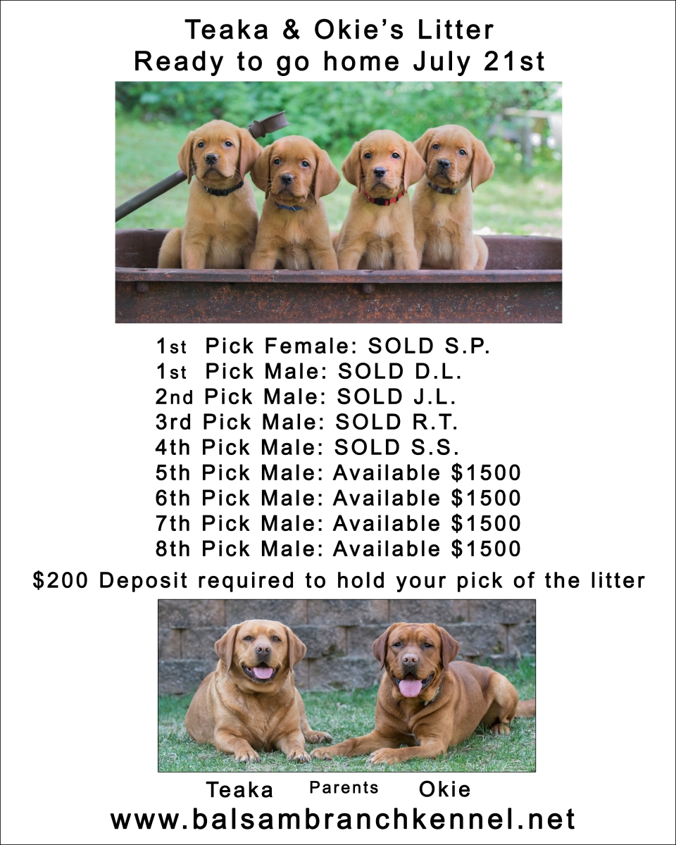 BBK Fox Red Lab Puppies For Sale TO 1 – Balsam Branch Kennel