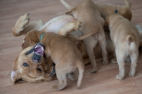 BBK Fox Red Lab Puppies For Sale106wk
