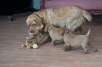 BBK Fox Red Lab Puppies For Sale16wk