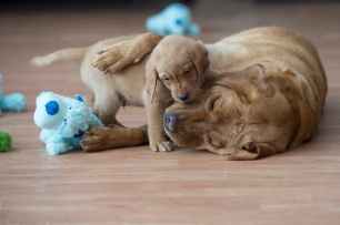 BBK Fox Red Lab Puppies For Sale26wk