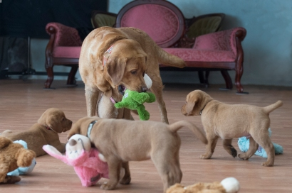 BBK Fox Red Lab Puppies For Sale6wk