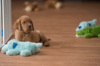 BBK Fox Red Lab Puppies For Sale76wk