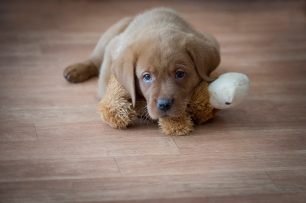BBK Fox Red Lab Puppies For Sale96wk