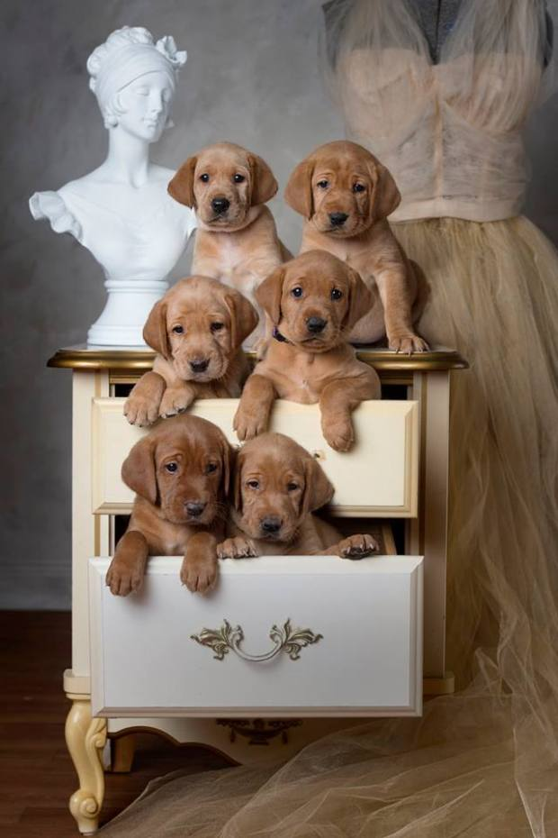 Balsam Branch Kennel Red Lab Puppies For Sale RM 2018 Five Weeks Old