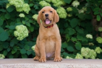 BBK Fox Red Lab English Puppies For Red Sale 9wk