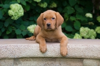BBK Fox Red Lab English Puppies For Red Sale Black 9wk