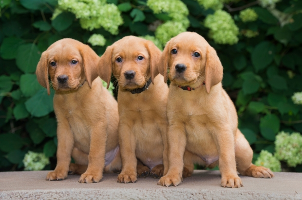 BBK Fox Red Lab English Puppies For Sale 9wk