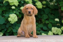 BBK Fox Red Lab English Puppies For Spot Sale 9wk