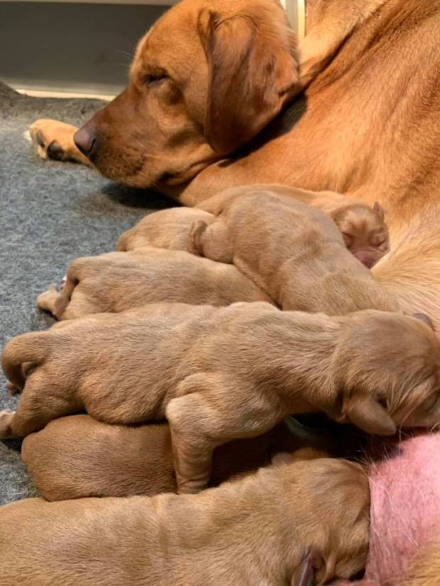 fox red lab puppies balsam branch kennel roxy okie for sale 2