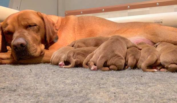 fox red lab puppies balsam branch kennel roxy okie for sale