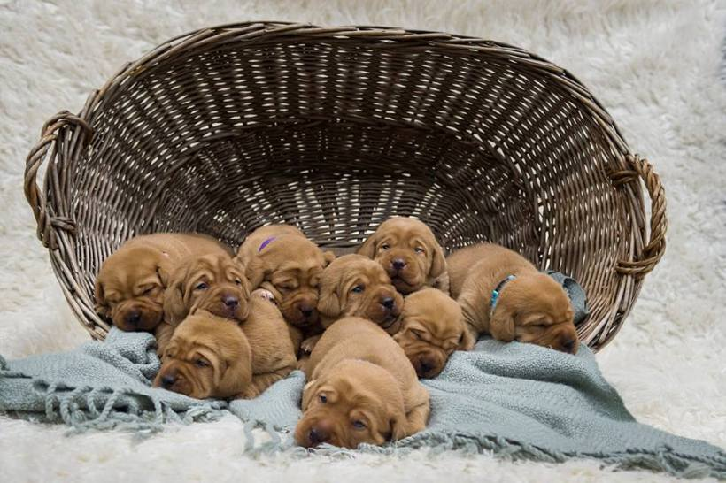 fox red lab puppies for sale balsam branch kennel two weeks old