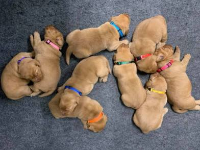 fox red lab puppies for sale balsam branch kennel two weeks old (3)
