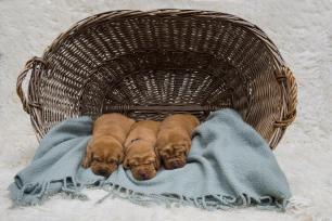 fox red lab puppies for sale balsam branch kennel two weeks old females