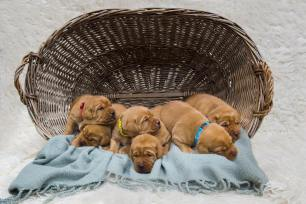 fox red lab puppies for sale balsam branch kennel two weeks old males