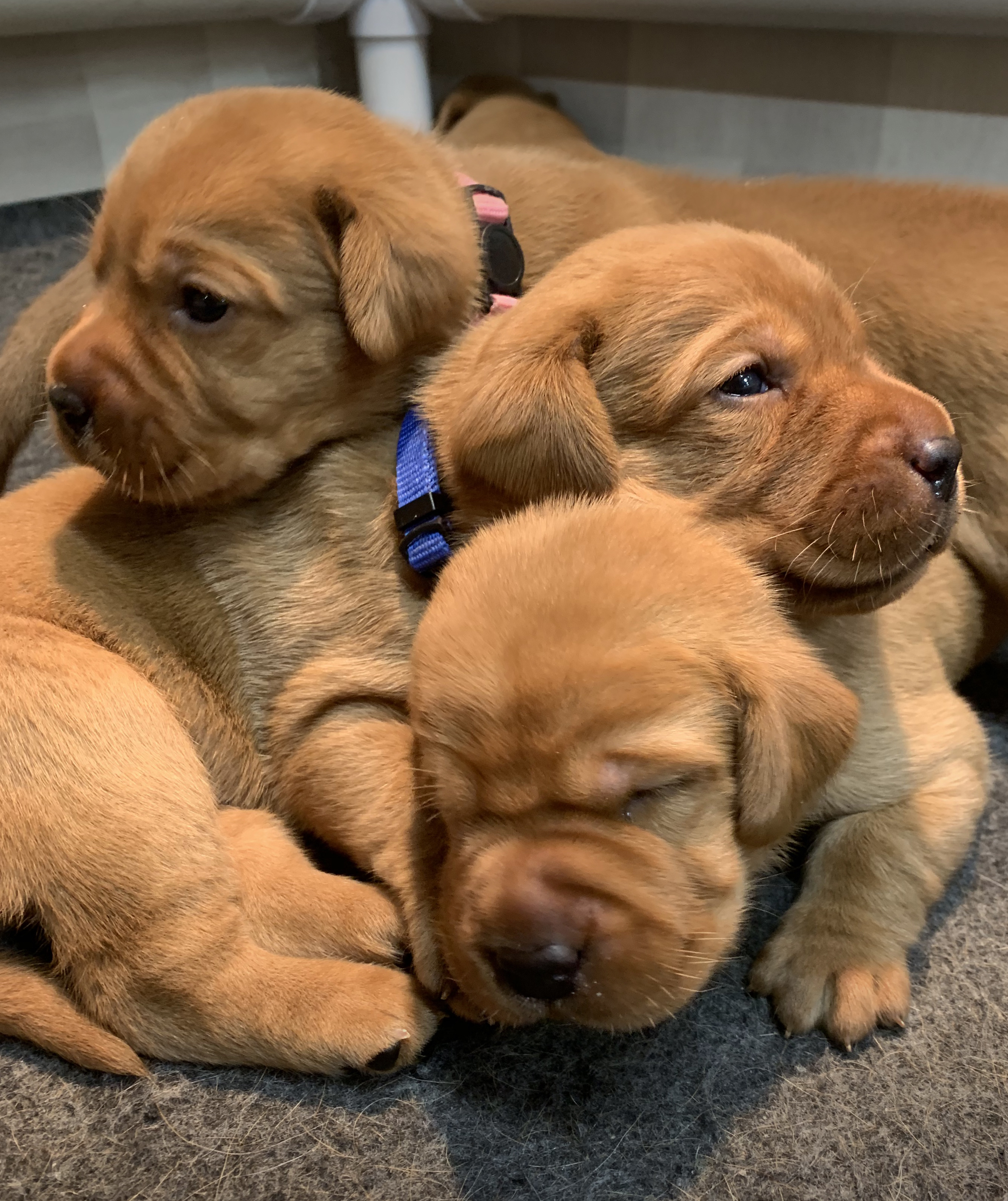 Fox Red Lab Puppies For Sale Roxy Okie Three Weeks Old Cute Puppies