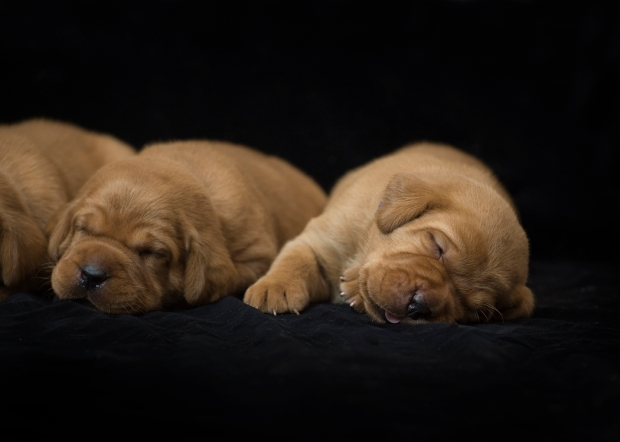 fox red lab puppies for sale roxy okie three weeks old cute puppies balsam branch kennel wisconsin (7)