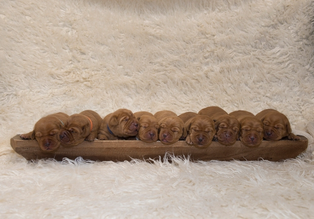 fox red lab puppies for sale wi balsam branch kennel