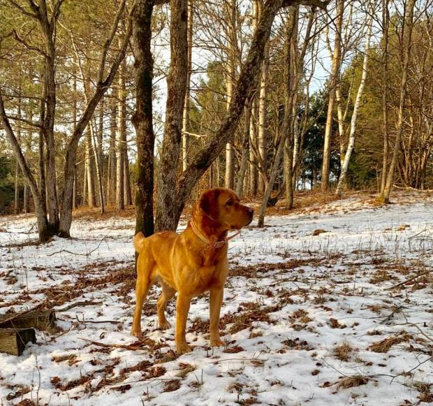 labs in snow balsam branch kennel fox red labs 1