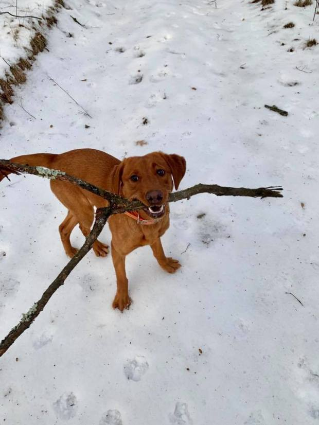 labs in snow balsam branch kennel fox red labs 4