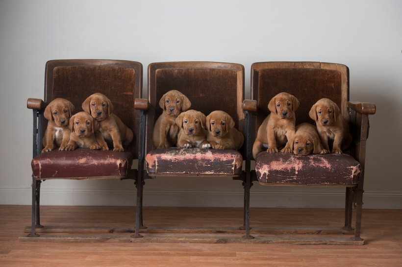 Puppies on Vintage Theater Seats Fox Red Lab Puppies Balsam Branch Kennel Puppies For Sale
