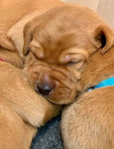 Fox Red Lab Puppies For Sale Balsam Branch Kennel 3 weeks old Roxy Okie (10)