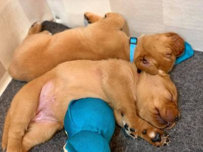 Fox Red Lab Puppies For Sale Balsam Branch Kennel 3 weeks old Roxy Okie (12)