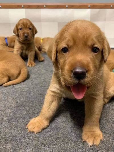 Fox Red Lab Puppies For Sale Balsam Branch Kennel 3 weeks old Roxy Okie (5)