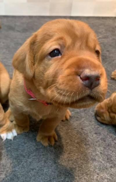 Fox Red Lab Puppies For Sale Balsam Branch Kennel 3 weeks old Roxy Okie (7)